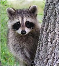 Gentle Gardens Non Lethal Raccoon Control