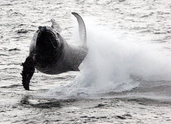 Leaping Humpback