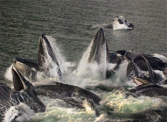 Cooperative feeding in Humpback whales