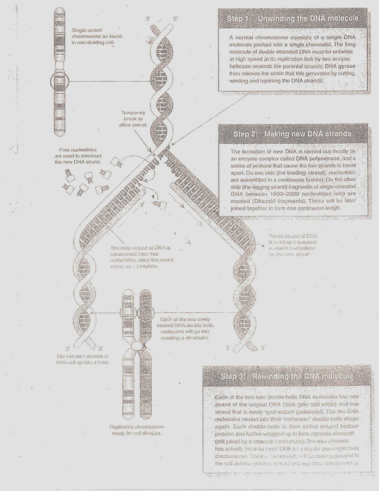 The Bioblog Bio Sheets 20 23 Dna Replication And