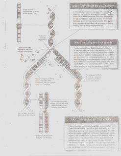 The BioBlog: BIO-SHEETS 20-23: DNA Replication and