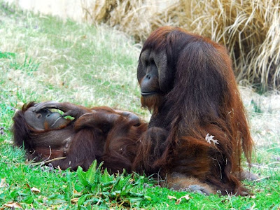 Monkeys sex pose