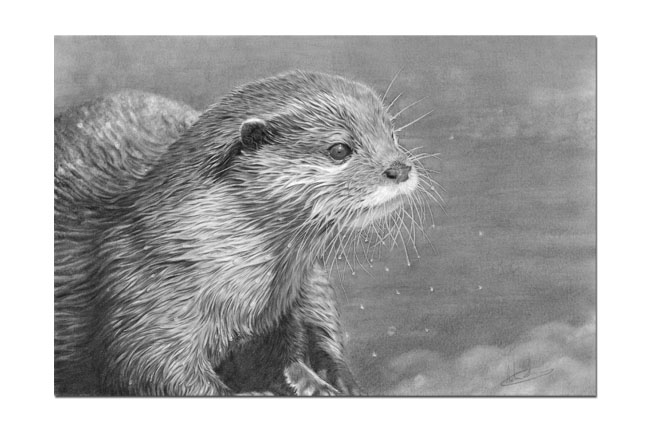 Nolon Stacey - A Pencil Artist's Blog: Otter Study finished