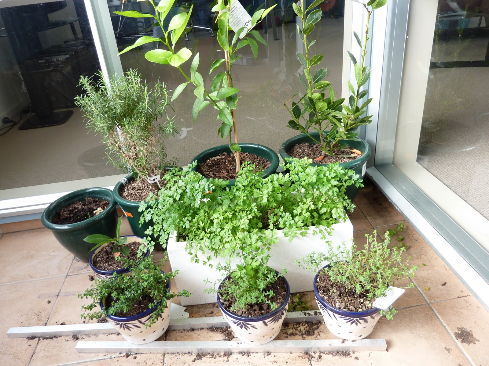 The gallery for --> Parsley Plant