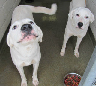 american bulldog and lab mix the daily rescue october 2010 9207
