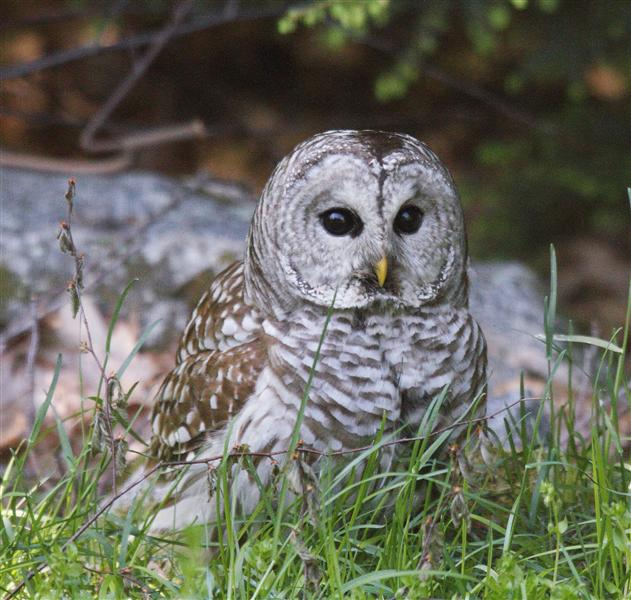 Life Looms Large: Barred Owl