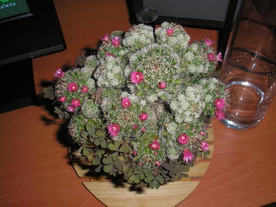 El jardin de pepa plantas de interior y cactus - Como transplantar cactus ...