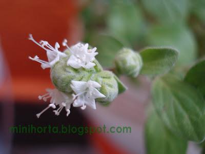 Flor da Manjerona