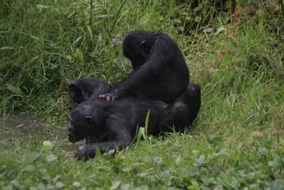 Gorillas having sex with girla think
