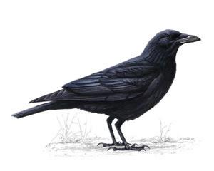 Three black crows song