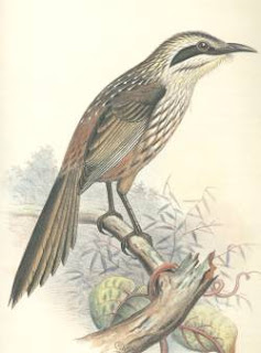 kioea Chaetoptila angustipluma extinct birds of Hawaii