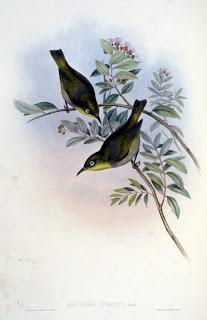robusto de ojos blancos Zosterops strenuus aves extintas de Australia
