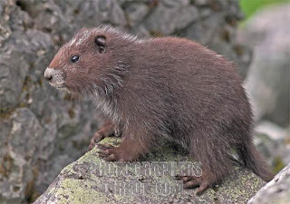 marmota de vancouver Marmota vancouverensis