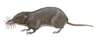 endangered Shrews
