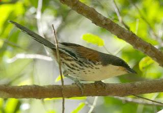 sibia de Langbian Laniellus langbianus aves extintas de Vietnam
