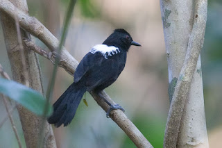 ojo de fuego de Bahia Pyriglena atra Brasil en extincion