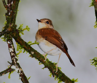 akelat de Gabela Sheppardia gabela aves en extincion de Angola