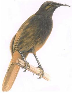 mielero mao Gymnomyza samoensis aves de Samoa en peligro de extincion