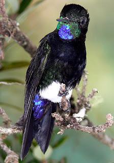 zamarrito del pinche Eriocnemis isabelliae aves de Colombia en extincion