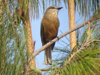 birro de Santa Marta Myiotheretes pernix aves en extincion Colombia