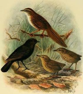 petroica de las Chatham Petroica traversi extinction islands birds
