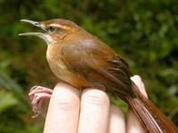 yerbera de Fiyi Megalurlus rufus aves de Fiyi amenazadas de extincion
