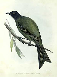 pajaro campana de Chatham Anthornis melanocephala extincion en las islas Chatham