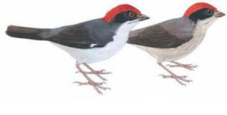gorrion montes paisa Atlatepes blancae aves de Colombia en peligro de extincion