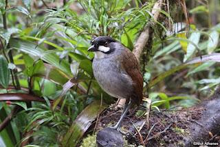 tororoi jocoso Grallaria ridgelyi aves de america en extincion