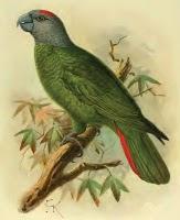 Martinique amazon