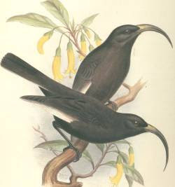 hoa Drepanis funerea extinct birds of Hawaii island