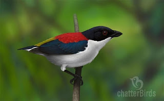 picaflor de cebu Dicaeum quadricolor aves de Filipinas en extincion