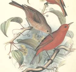 kakawahie Paroreomyza flammea extinction birds of Hawaii
