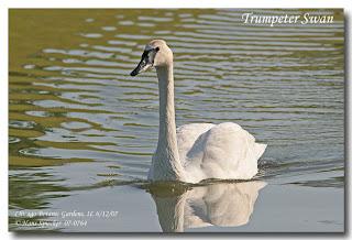 Cisne trompetero Cygnus buccinator