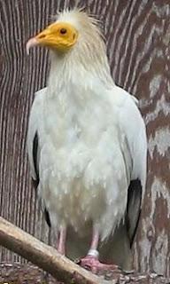 alimoche Neophron percnocterus aves de Asia en peligro de extincion
