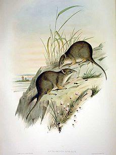 dibler meriodional Parantechinus apicalis