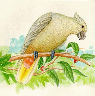 Cacatia Cacatua en extincion haematuropygia