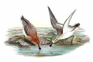 correlimos cuchareta Eurynorhynchus Calidris pygmeus aves de asia en peligro de extincion