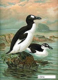 alca gigante Pinguinus impennis ave extinta