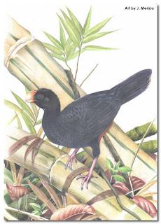 pavon pico de hacha Mitu mitu aves extintas de Brasil