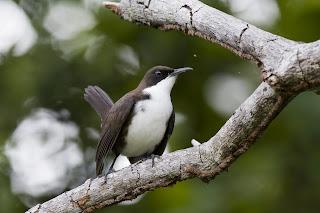 temblador de pecho blanco Ramphocinclus brachyurus aves del Oceano Atlantico en peligro de extincion