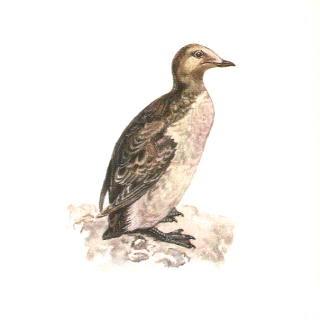 mergulo pico corto Brachyramphus brevirostris aves de america en extincion
