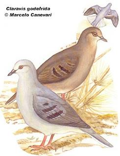 Purple winged ground dove