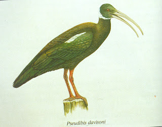 ibis de hombros blancos Pseudibis davisoni aves de Asia en extincion