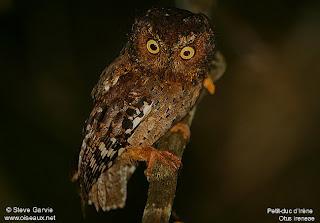 autillo Otus ireneae aves de Africa en extincion