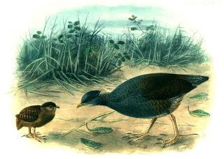 talégalo de las Tonga Megapodius pritchardi aves en extincion de Polinesia Francesa Fren Polynesia birds