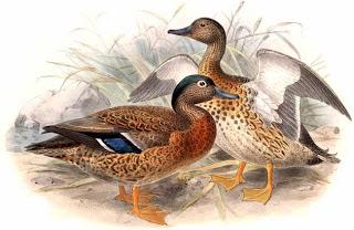 anade hawaiano Anas wyvillana aves de Hawaii en extincion