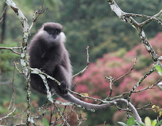 Purple faced langur