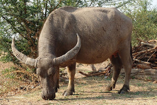 Indian water buffalo