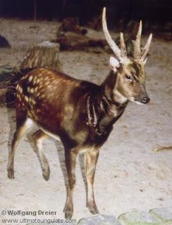ciervo moteado de filipinas Rusa alfredi mamiferos de asia en extincion